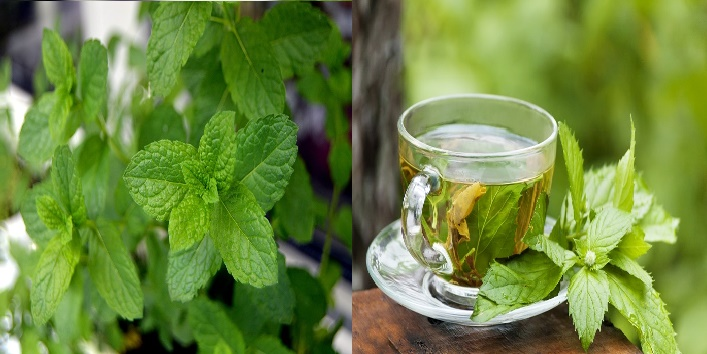 Mint and green tea